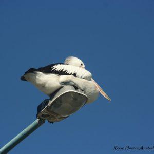 Reise Hunter Australien Port Macquarie Pelikan chillt