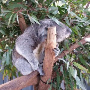 Reise Hunter Australien Port Macquarie Koala Hospital7