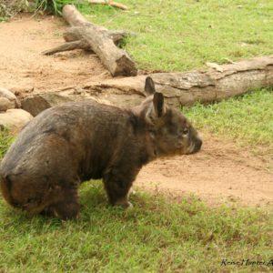 Reise Hunter Australien Wombad