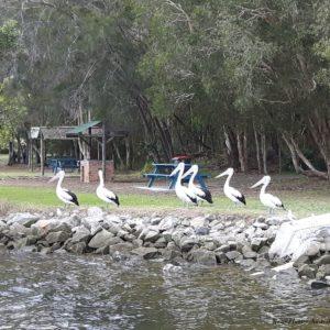 Reise Hunter Australien Port Macquarie Pelikane am Ufer