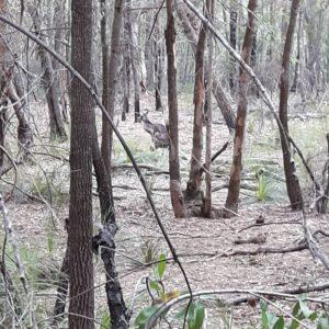 Reise Hunter Australien Ku-ring-gai Chase National Park Känguru