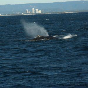 Reise Hunter Australien Surfers Paradise Wale2