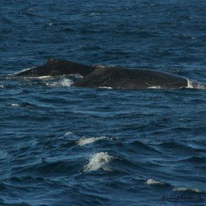 Reise Hunter Australien Surfers Pardise 2 Wale 3