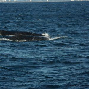 Reise Hunter Australien Surfers Pardise 2 Wale 2