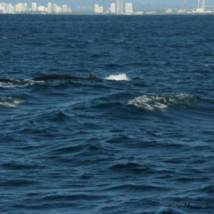 Reise Hunter Australien Surfers Pardise 1 Wal
