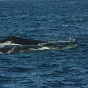 Reise Hunter Australien Surfers Pardise 2 Wale