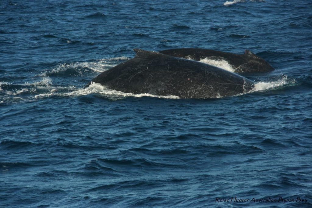 Reise Hunter Australien Surfers Paradise Wale