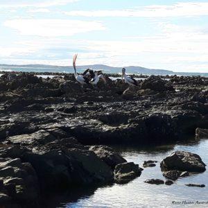 Reise Hunter Australien Port Macquarie Pelikane