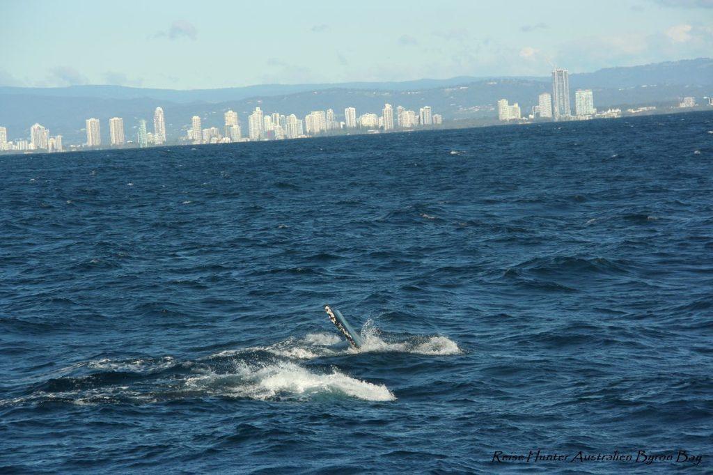 Reise Hunter Australien Surfers Paradise Wale3