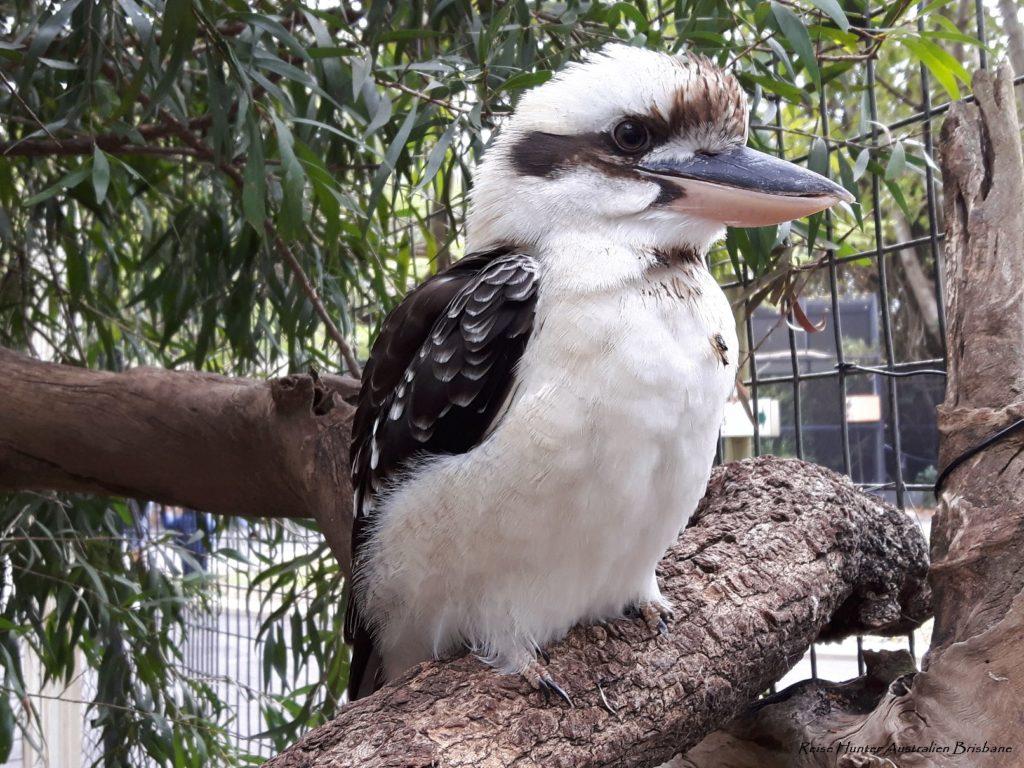 Reise Hunter Australien Lone Pine Vogel