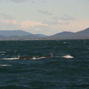 Reise Hunter Australien Port Macquarie Wal3