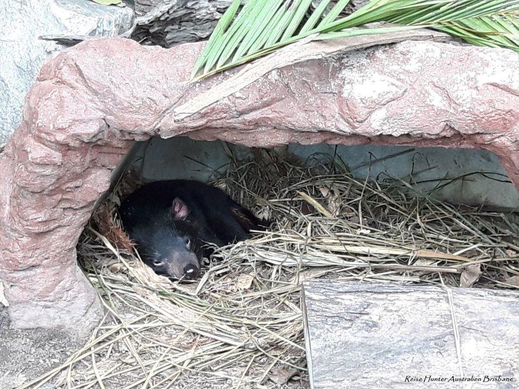 Reise Hunter Australien Lone Pine Wombat