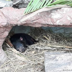 Reise Hunter Australien Lone Pine Tasmanischer Teufel