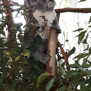 Reise Hunter Australien Bisbane Lone Pine Sanctuary Koala13
