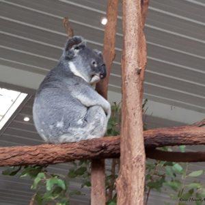 Reise Hunter Australien Bisbane Lone Pine Sanctuary Koala12