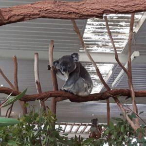 Reise Hunter Australien Bisbane Lone Pine Sanctuary Koala11