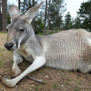 Reise Hunter Australien Lone Pine Kängurus5
