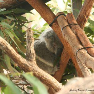 Reise Hunter Australien Port Macquarie KoalaH Hospital2