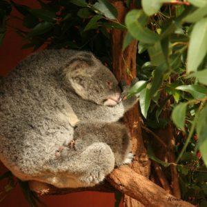Reise Hunter Australien Bisbane Lone Pine Sanctuary Koala9