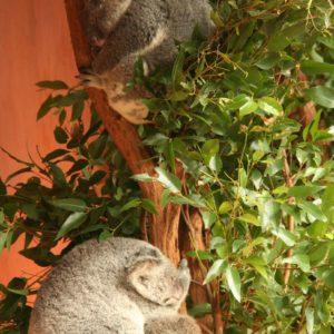 Reise Hunter Australien Bisbane Lone Pine Sanctuary Koala8