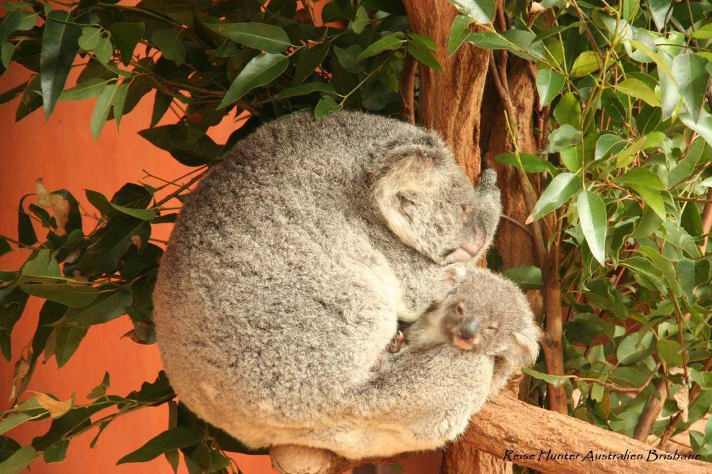 Reise Hunter Australien Lone Pine Koala u Joey