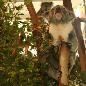 Reise Hunter Australien Bisbane Lone Pine Sanctuary Koala6