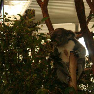 Reise Hunter Australien Bisbane Lone Pine Sanctuary Koala5