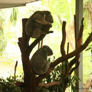 Reise Hunter Australien Bisbane Lone Pine Sanctuary Koala4