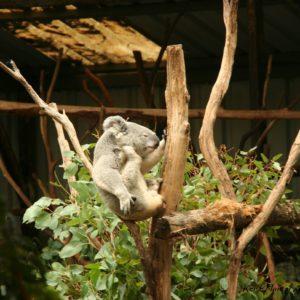 Reise Hunter Australien Bisbane Lone Pine Sanctuary Koala3