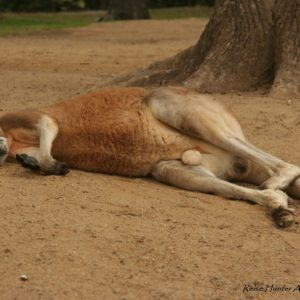 Reise Hunter Australien Bisbane Lone Pine Sanctuary Känguru schläft