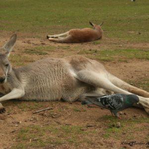 Reise Hunter Australien Bisbane Lone Pine Sanctuary Känguru relaxt