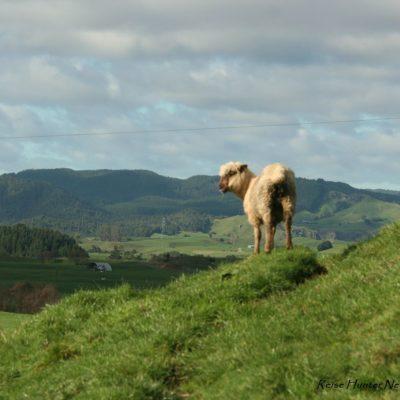 Reise Hunter Neuseeland Natur mit Schaf