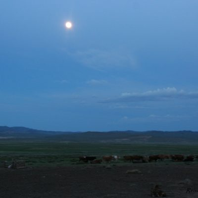 Reise Hunter Mongolei Kühe
