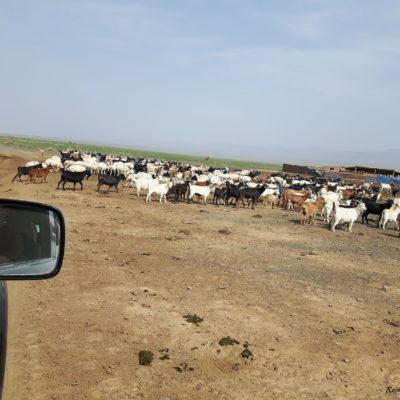 Reise Hunter Mongolei Achtung Ziegen