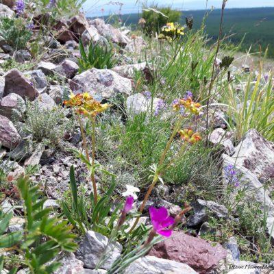 Reise Hunter Mongolei Blumen2