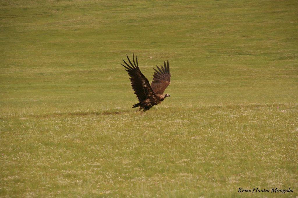 Reise Hunter Mongolei Geier2