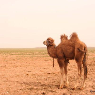 Reise Hunter Mongolei Kamel steht bereit