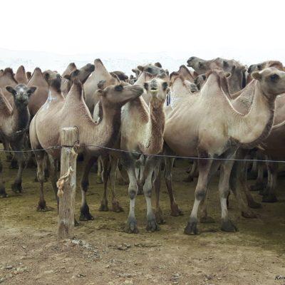 Reise Hunter Mongolei Markierte Kamele2