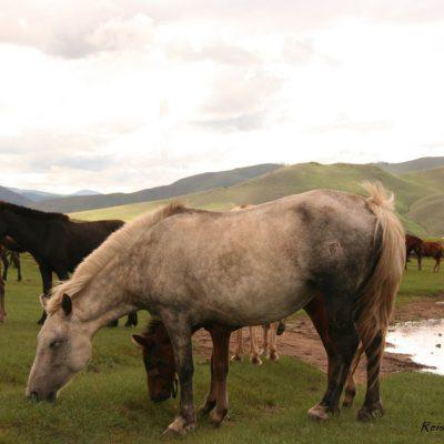 Reise Hunter Mongolei Pferdchen