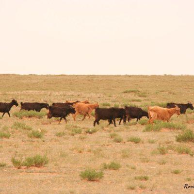 Reise Hunter Mongolei Schafe und Ziegen 7