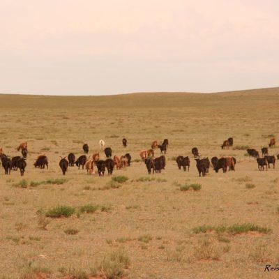 Reise Hunter Mongolei Schafe und Ziegen6