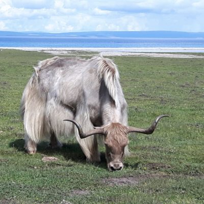 Reise Hunter Mongolei Yak7