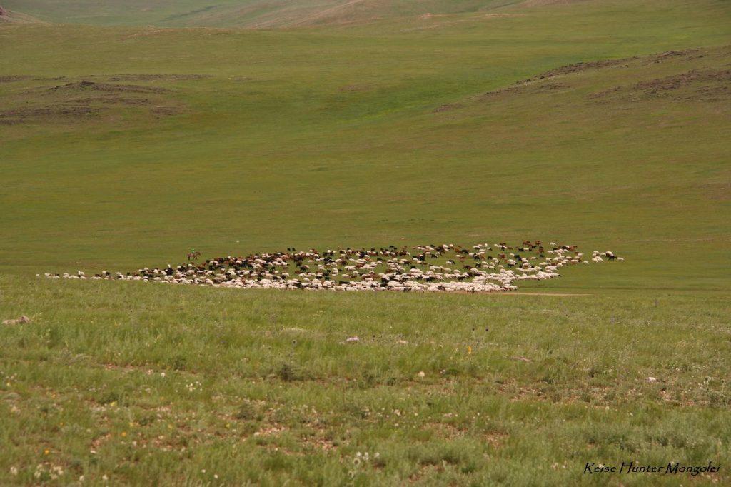 Reise Hunter Mongolei Ziegen und Schafe2