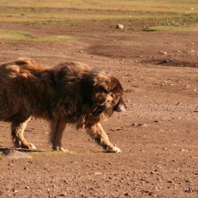 Reise Hunter Mongolei Zottelhund